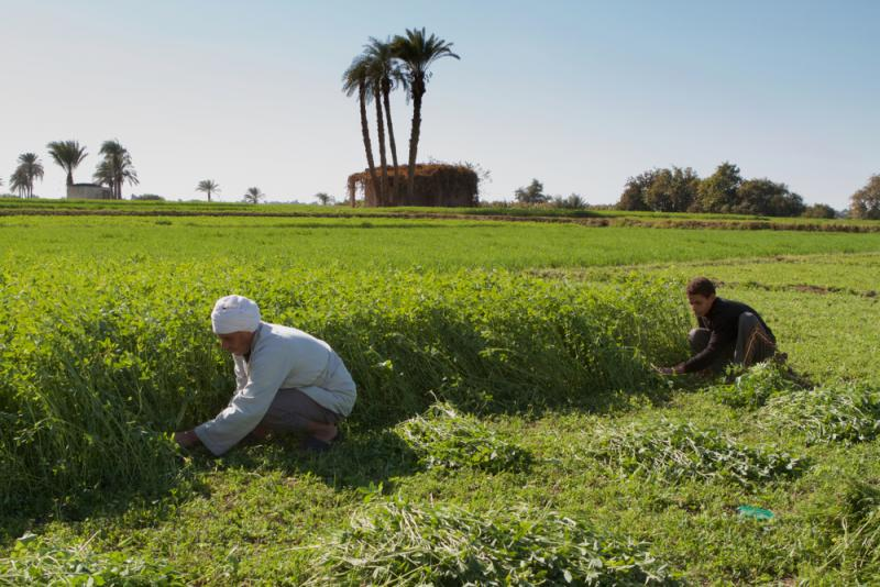 Traditional farmers in the Nile valley, cutting fodder for cattle. Sohag, Egypt. Photo credit: By Senderistas/Shutterstock