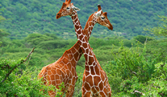 Two giraffes fight at the Samburu National Park. - Photo: Shutterstock