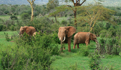 Two elephants at a national park in Kenya. - Photo: Shutterstock